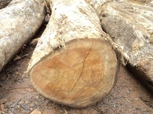 afria teak logs