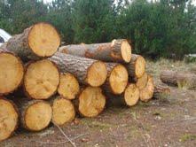 eucodore radiate pine (1)