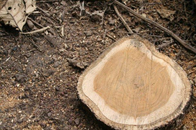 Panama Teaks Logs