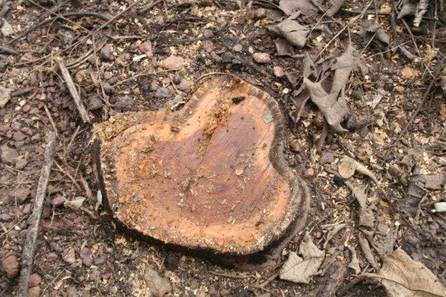 Teak Logs Panama