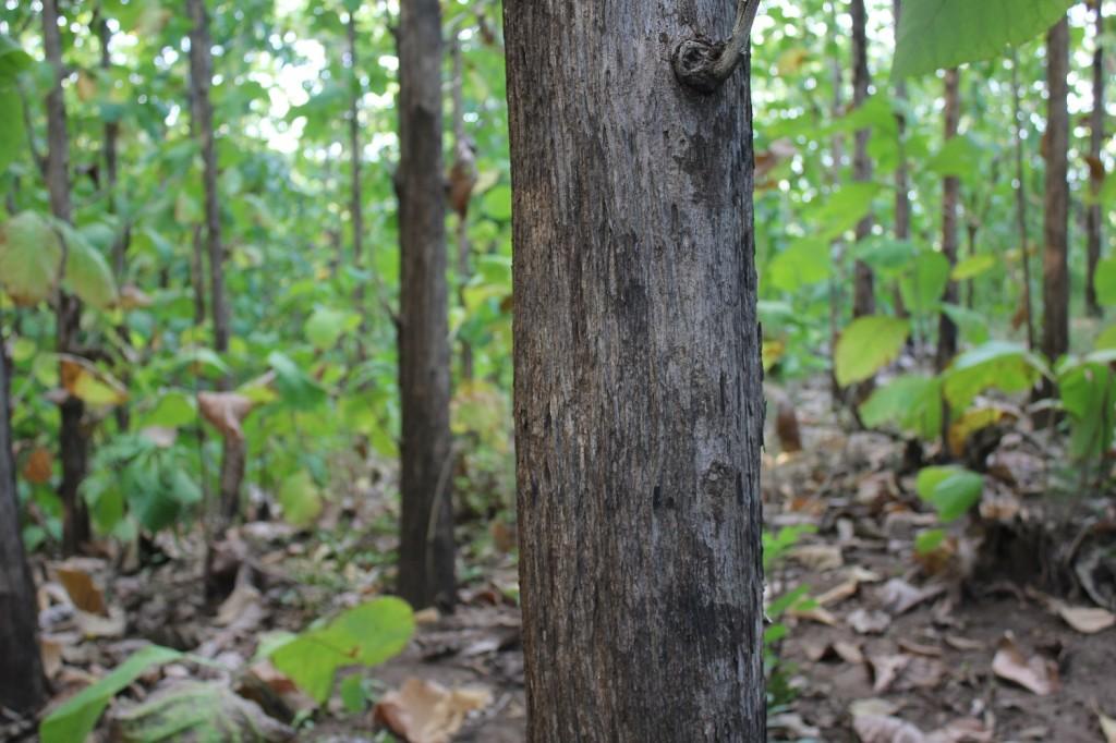 Teak Logs- Tanzania