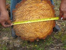 eucodore radiate pine (2)