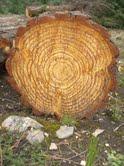 eucodore radiate pine (3)