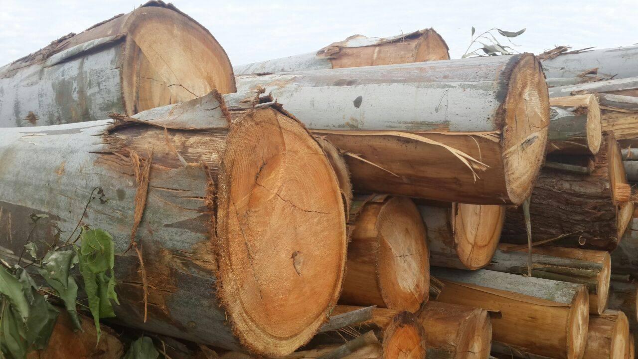 Eucalyptus Grandis Round Logs.